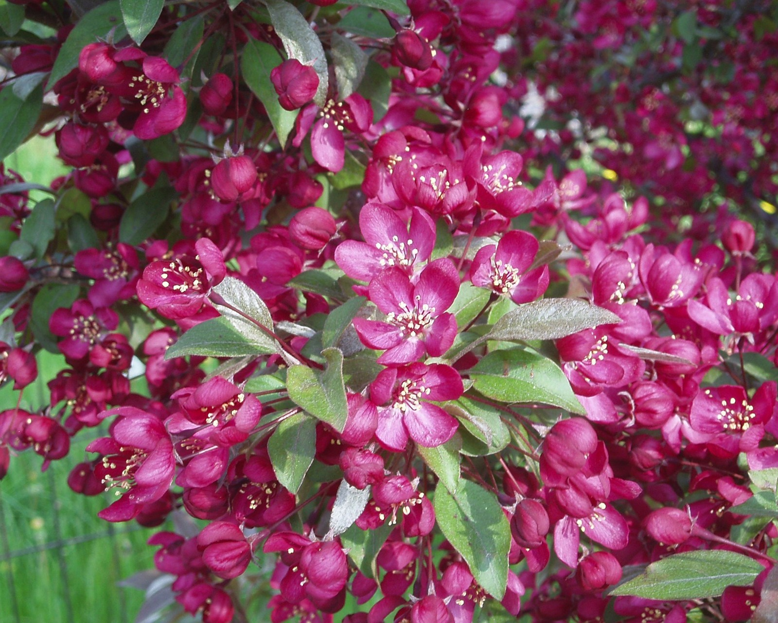 Crab Apple Trees In Bloom Signal Spring In Chicago City