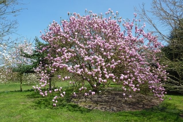 Magnolias The Empress Of Blooming Trees North Shore