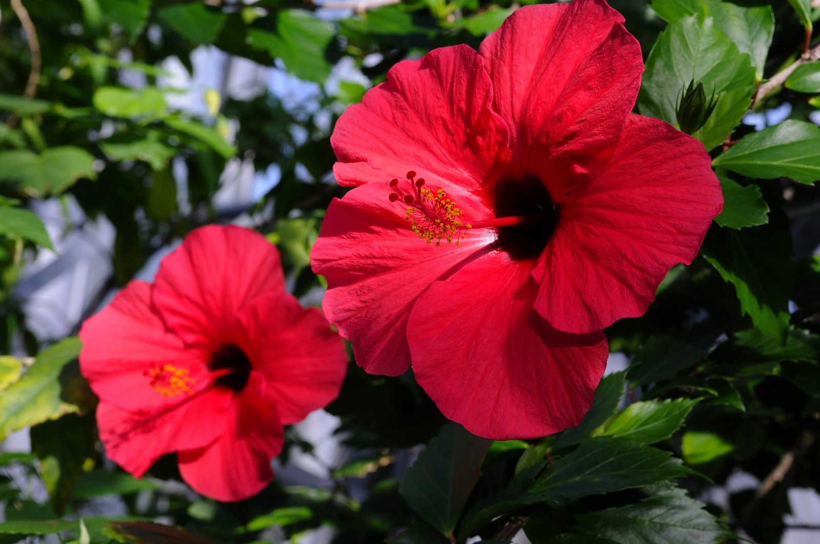 Tropical Hibiscus Requires Sun Light Pruning To Flower City