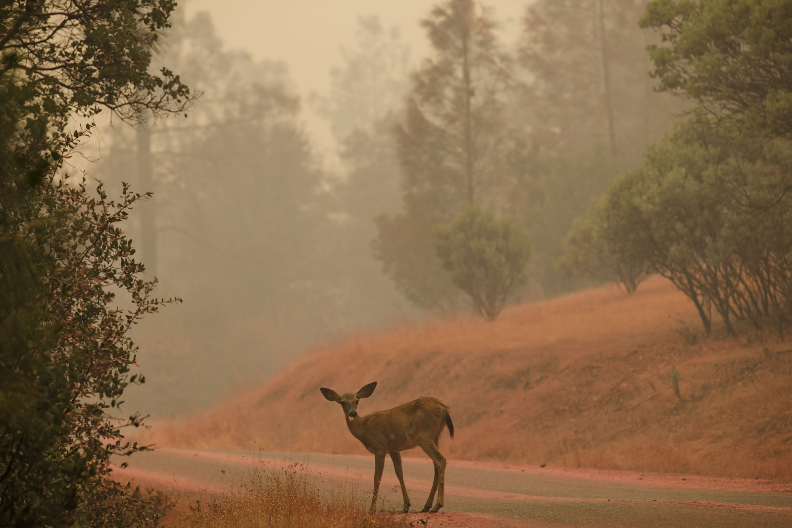 A deer smothered in fire retardant stands in the road as the Carr blaze threatened structures on Saturday near Redding. At least 500 homes and other structures have succumbed to flames, authorities said. — Photograph: Marcus Yam/Los Angeles Times.