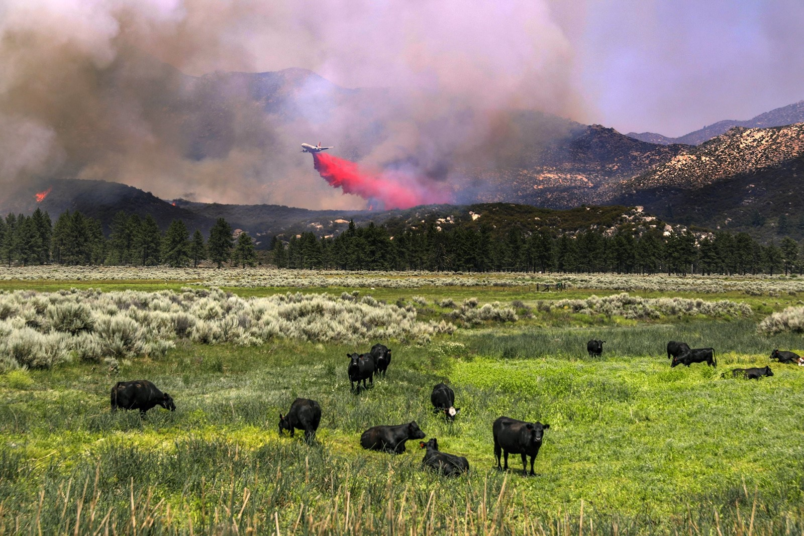 A plane drops fire retardant on the Cranston fire along Highway 74 as seemingly uninterested cows graze on Friday near Lake Hemet. — Photograph: Irfan Khan/Los Angeles Times.