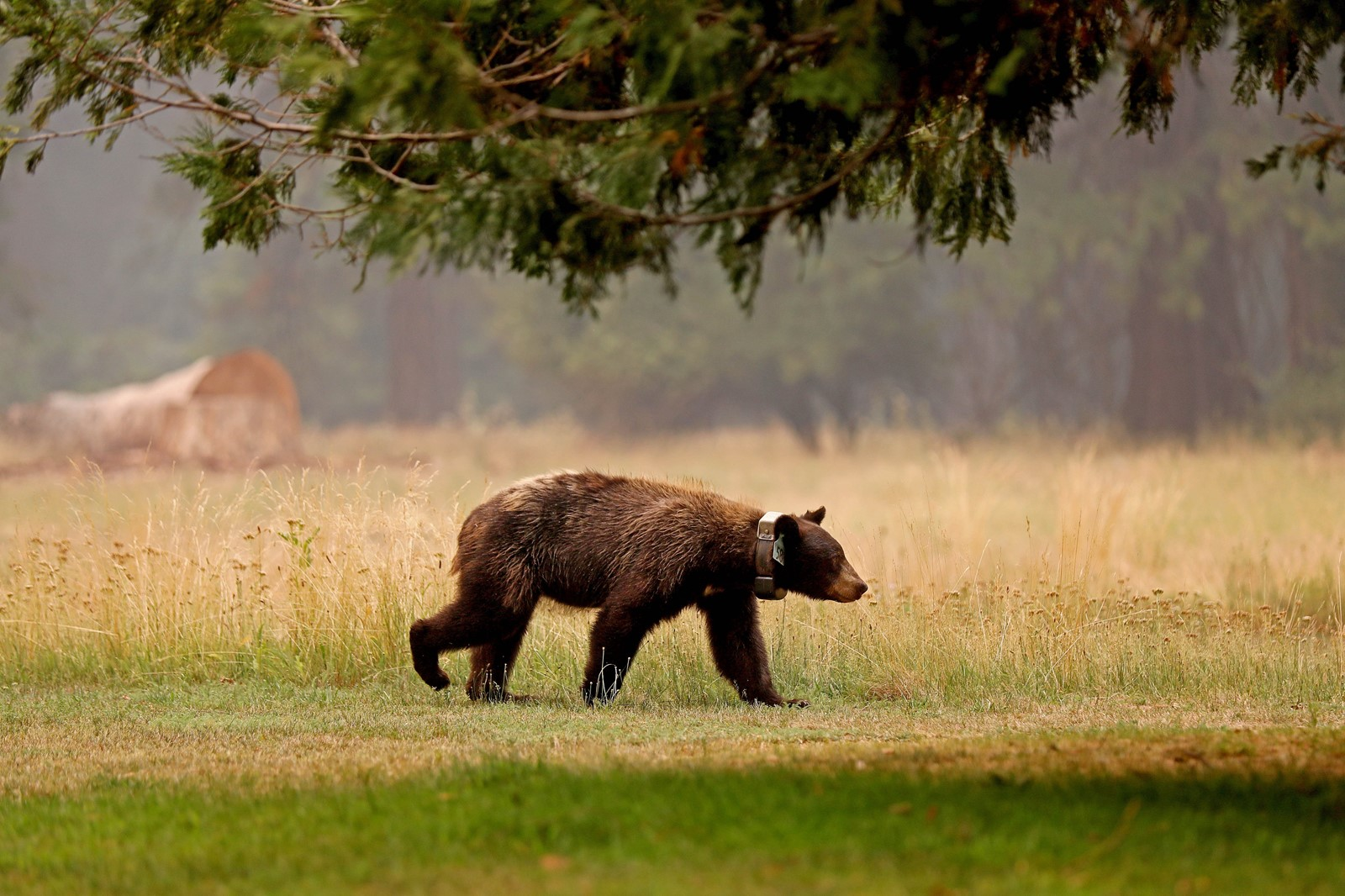 A 5-year-old bear strolls about the meadow behind Majestic Yosemite Hotel on Wednesday. — Photograph: Gary Coronado/Los Angeles Times.