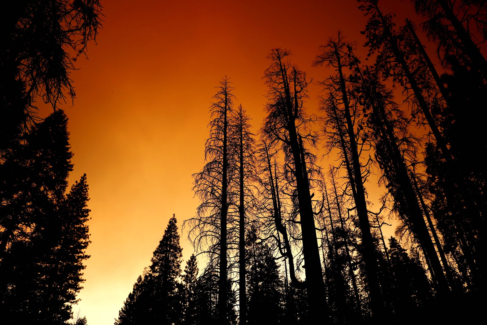 Dead trees are shrouded in smoke from the blaze, which has burned more than 73,560 acres. — Photograph: Gary Coronado/Los Angeles Times.